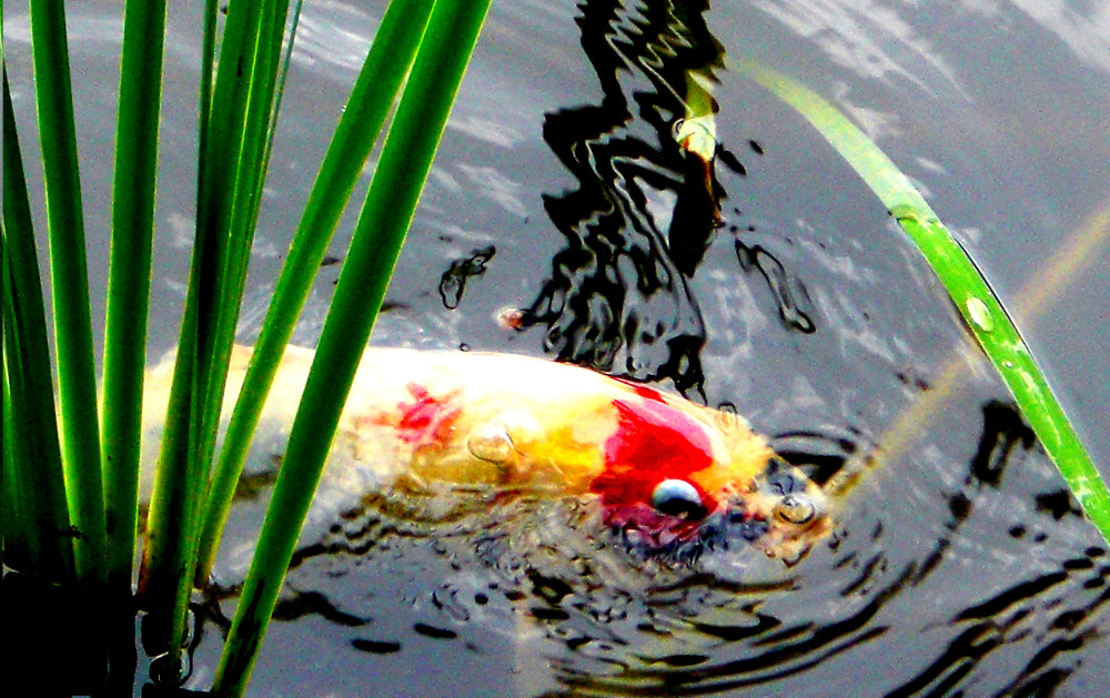 goldfish in Kinkakuji x
